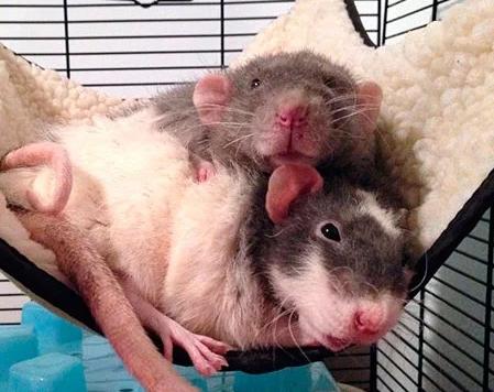 Содержание декоративных крыс